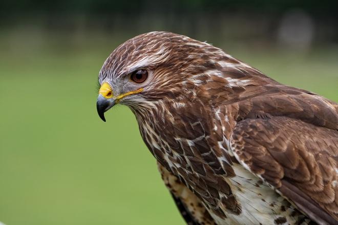 Ỷ mạnh hiếp yếu, chim ưng lạnh lùng rỉa từng cọng lông chim cúc cu - Ảnh 1.