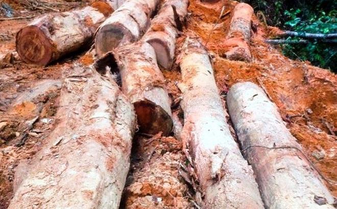Đình chỉ công tác trạm trưởng bảo vệ rừng để xảy ra phá rừng