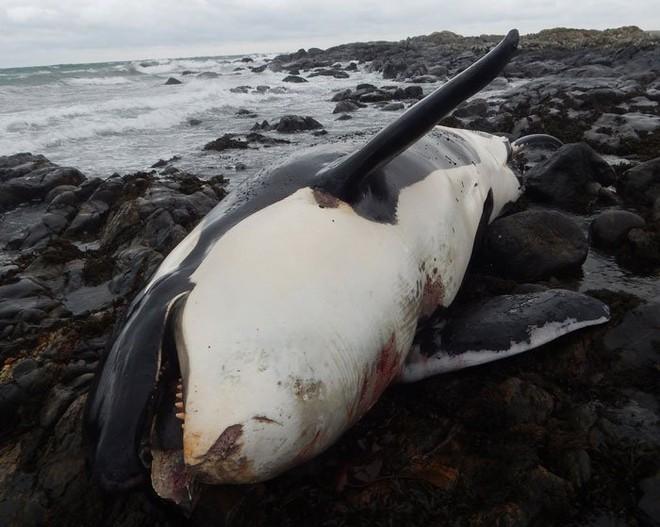 Cá voi sát thủ chết dạt vào bờ và nguyên nhân khiến các nhà khoa học giật mình lo ngại - Ảnh 2.