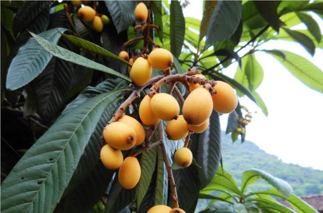 Nhật, TQ để quả này mọc ven đường, về Việt Nam 4 triệu/kg: Giá trị dinh dưỡng đến đâu? - Ảnh 2.