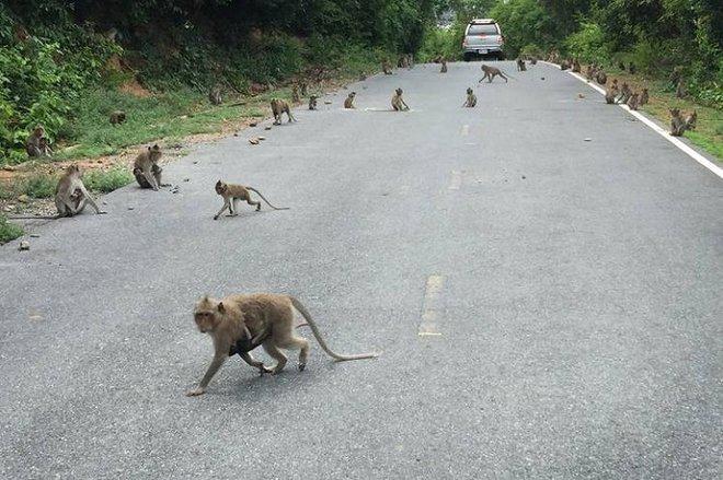 Hải quân Thái Lan tung vũ khí bí mật chống đám khỉ đạo tặc - Ảnh 1.