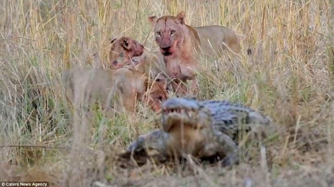 Cá sấu sông Nile ngông cuồng, có hành động điên rồ trước bầy sư tử châu Phi - Ảnh 3.