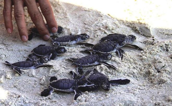Sau hơn 10 năm, rùa biển lại bơi ở Cù Lao Chàm