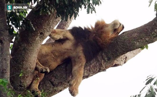 """Hai anh em sư tử """"ngụy trang"""", nằm vắt vẻo trên cây cả ngày vì lý do không ai ngờ tới"""