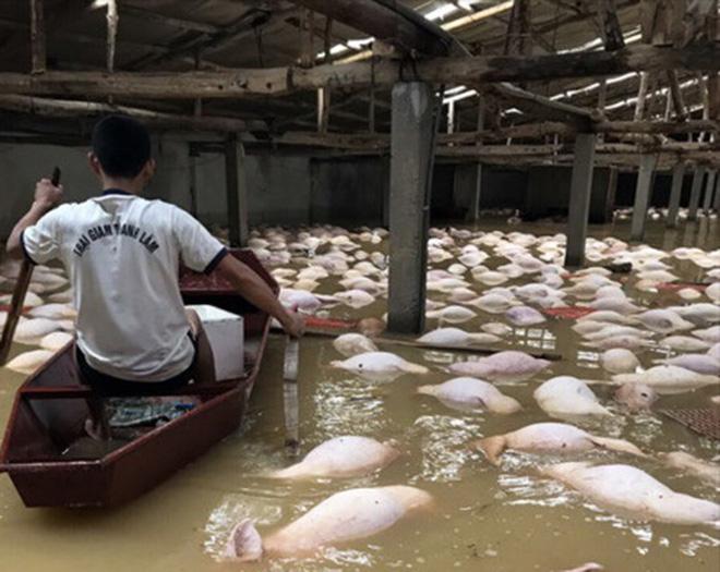 4.000 con heo chết đuối trong trang trại - Ảnh 2.