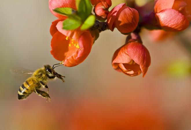 Nếu loài ong tuyệt chủng, điều gì sẽ xảy ra với thế giới? - Ảnh 1.