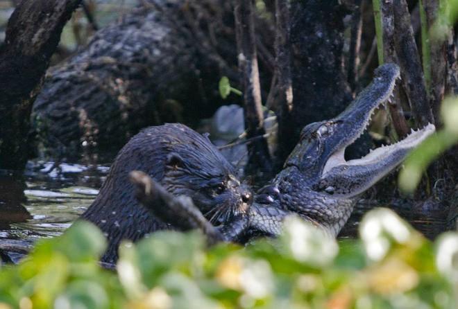 Cá sấu đau đớn quằn quại vì bị kẻ lạ mặt tấn công rồi ăn thịt không thương tiếc - Ảnh 1.