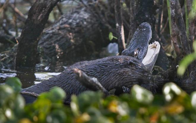 Cá sấu đau đớn quằn quại vì bị kẻ lạ mặt tấn công rồi ăn thịt không thương tiếc - Ảnh 3.