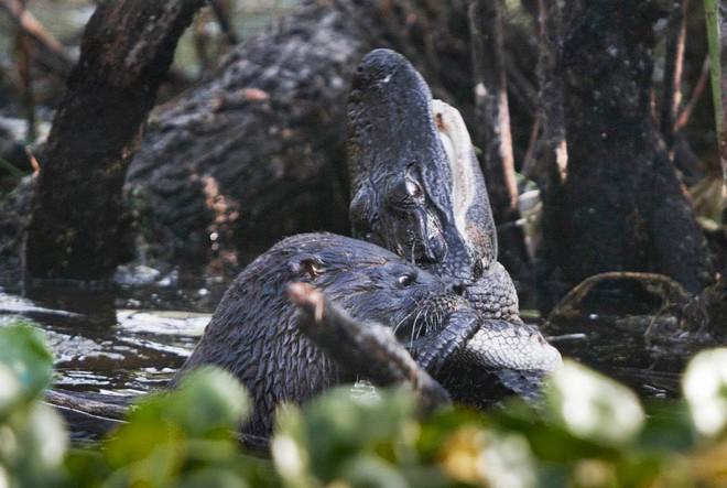 Cá sấu đau đớn quằn quại vì bị kẻ lạ mặt tấn công rồi ăn thịt không thương tiếc - Ảnh 4.