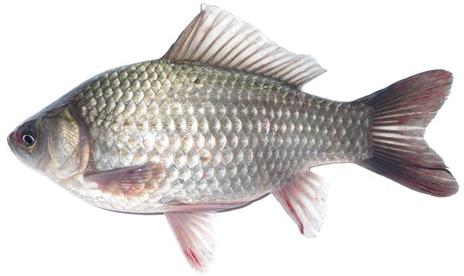 Cá càng lớn, bộ phận này càng tích tụ nhiều chất độc: Chúng ta vẫn vô tư ăn mà không biết - Ảnh 2.