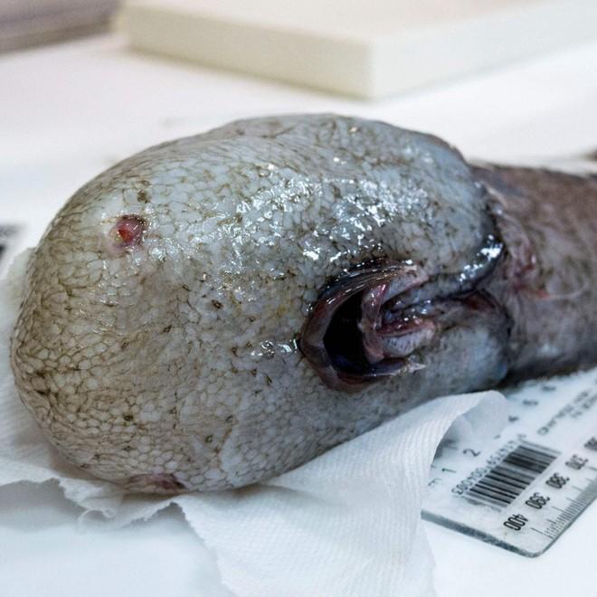 Những sinh vật kỳ dị, xứng danh quái vật đáng sợ bậc nhất dưới đại dương - Ảnh 11.