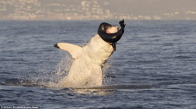 Bị dồn vào đường cùng, hải cẩu cắn xé ngấu nghiến cá mập để giành lại sự sống - Ảnh 2.
