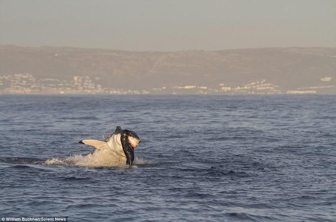Bị dồn vào đường cùng, hải cẩu cắn xé ngấu nghiến cá mập để giành lại sự sống - Ảnh 4.