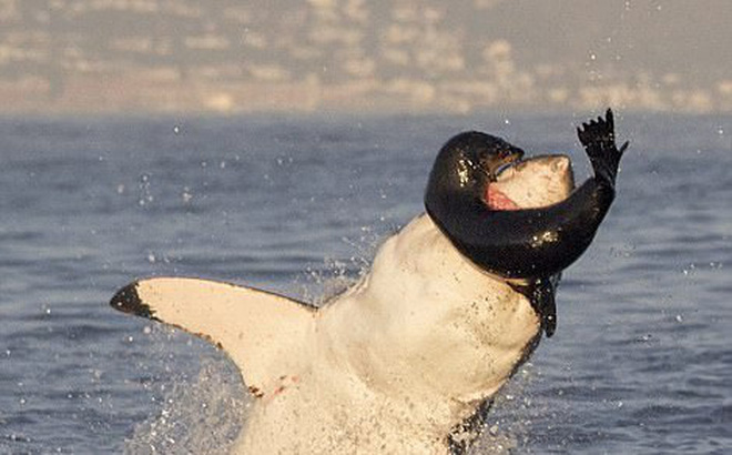 Bị dồn vào đường cùng, hải cẩu cắn xé ngấu nghiến cá mập để giành lại sự sống