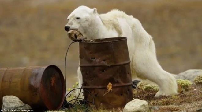Cảnh tượng ám ảnh: Gấu Bắc Cực gầy trơ xương trên hòn đảo... không băng - Ảnh 2.