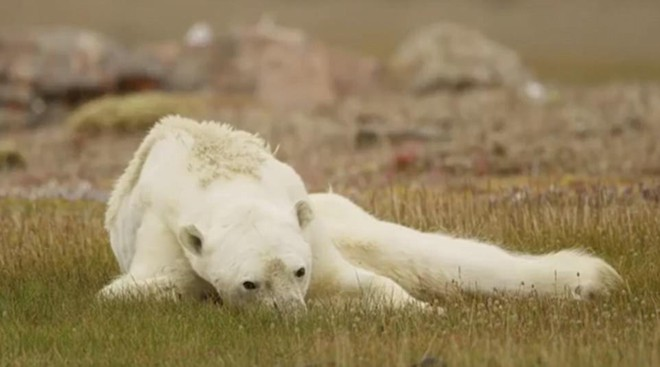 Ám ảnh cảnh tượng: Gấu Bắc Cực gầy trơ xương trên hòn đảo không băng - Ảnh 3.