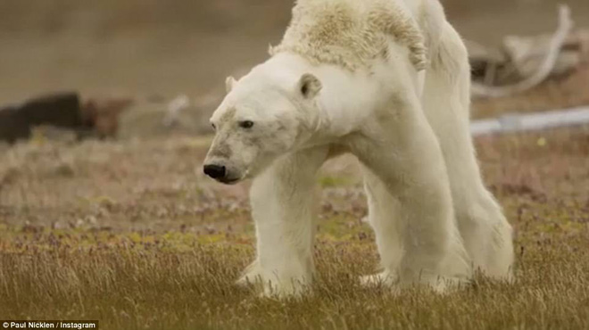 Cảnh tượng ám ảnh: Gấu Bắc Cực gầy trơ xương trên hòn đảo... không băng - Ảnh 5.