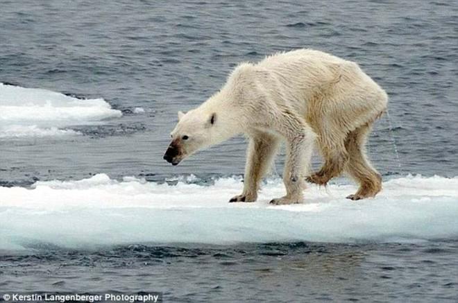 Cảnh tượng ám ảnh: Gấu Bắc Cực gầy trơ xương trên hòn đảo... không băng - Ảnh 6.