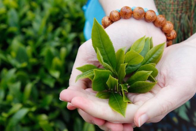 Loại lá có tác dụng phòng ngừa ung thư số 1 thế giới: Bán nhiều ở chợ Việt Nam với giá rẻ - Ảnh 1.