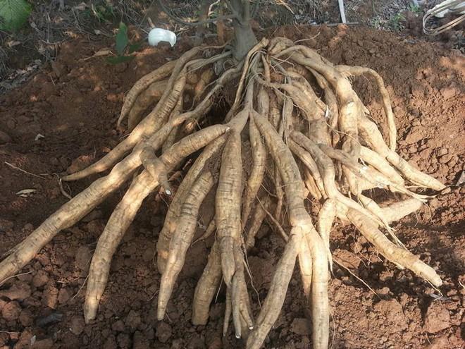 9 loại cây giải độc khi bị rắn cắn, côn trùng đốt, ngộ độc thực phẩm… - Ảnh 9.