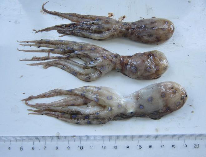 Tránh xa những loại hải sản có lượng độc tố cao gây chết người - ảnh 4