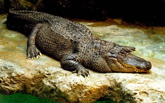 Cá sấu mõm nhọn Mỹ,Crocodylus acutus