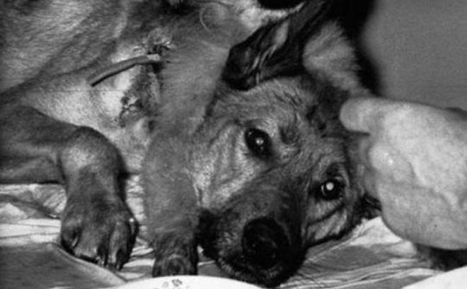 Chuyện hoàn toàn có thật: Các nhà khoa học Nga tạo ra một con chó hai đầu từ 2 giống khác nhau