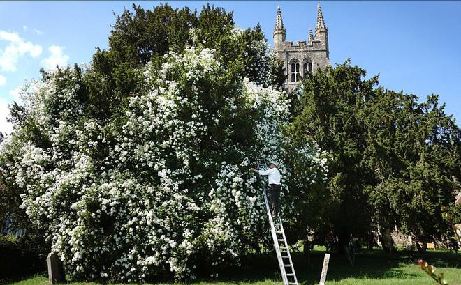 """Chiêm ngưỡng cây hoa hồng trắng """"vĩ đại"""" tồn tại suốt hơn trăm năm"""