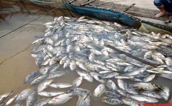 Thủy điện Hòa Bình xả lũ liên tiếp, cá lồng chết như ngả rạ