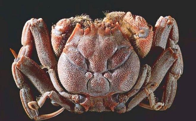 Los cangrejos extraños tienen caras humanas idénticas
