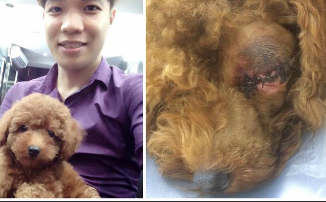 Chó Poodle bị bạn của chủ đánh chột mắt, hỏng mặt vì lỡ tè bậy lên đệm