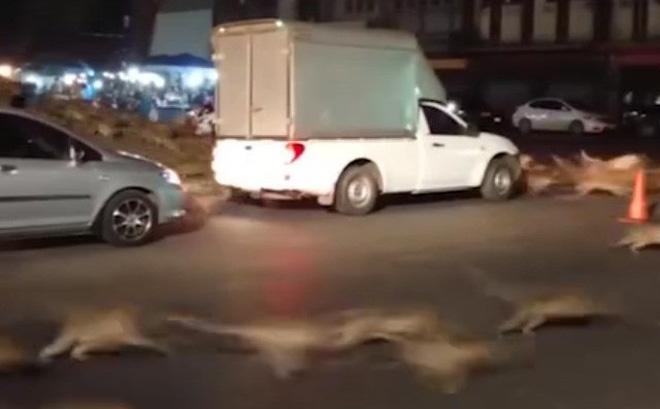 Video: Hàng trăm con khỉ bất ngờ chạy sang đường náo loạn cả phố