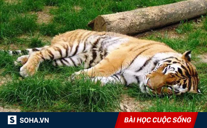"""Đổi chỗ cho nhau, 2 con hổ lăn ra chết: Lời """"cảnh báo"""" không nên bỏ qua!"""