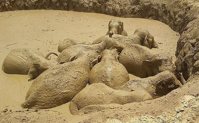 """Đứng trước nguy cơ chết đói, 11 con voi đồng tâm hiệp lực vượt """"hố tử thần"""""""
