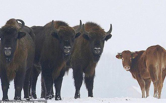 """Bò cái nổi loạn bỏ nhà đến sống cùng đàn bò rừng và cái kết """"sắp"""" không có hậu"""