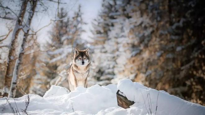 Bắt gặp con sói mẹ bị mắc bẫy, ra tay làm một việc, người đàn ông được hưởng lợi cả đời - Ảnh 2.