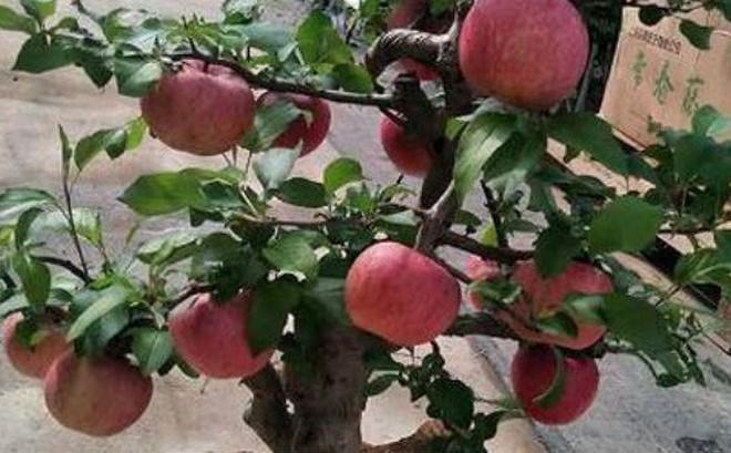 Kết quả hình ảnh cho cây táo