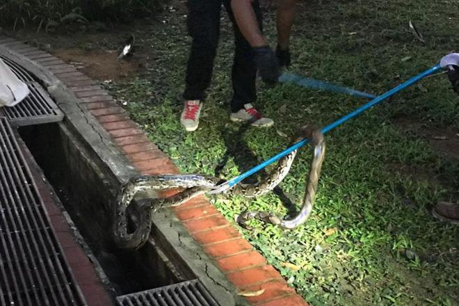 Singapore: Đi tìm mèo lạc lúc 4 giờ sáng, người phụ nữ bị trăn dài 3m tấn công - Ảnh 4.