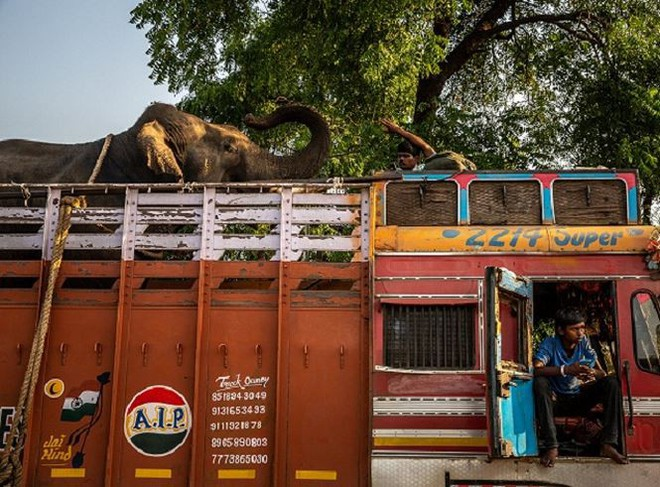 Ấn Độ dùng nước hoa để thu hút hổ cái ăn thịt người - Ảnh 1.