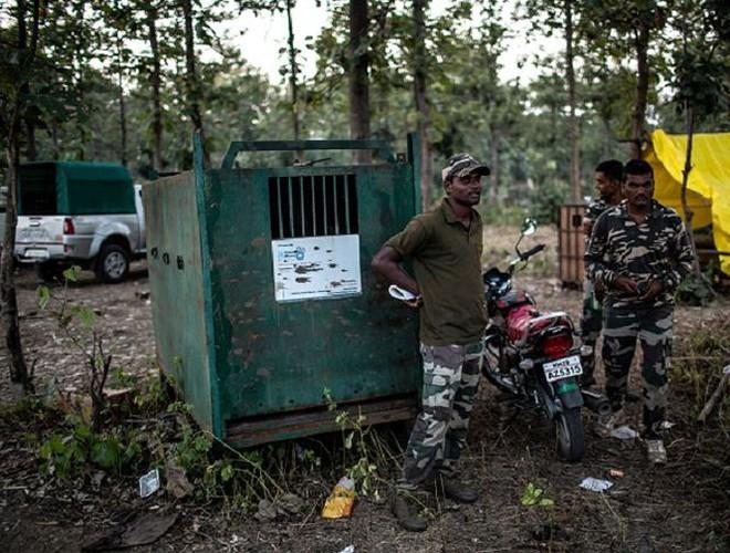 Ấn Độ dùng nước hoa để thu hút hổ cái ăn thịt người - Ảnh 2.