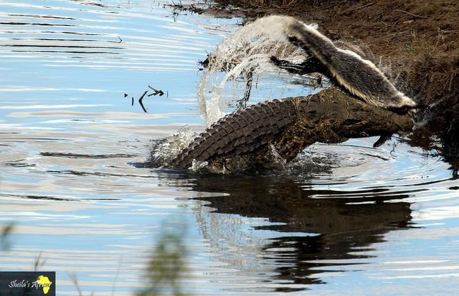 Ngay cả khi đã chết, lửng mật ong vẫn làm khổ cá sấu, bắt nó vật lộn mãi không xong - ảnh 7