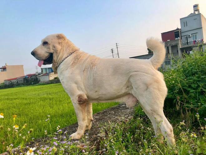 """Chó bố nặng gần 90 kg và đàn chó con hiếm gây sốt"""" mạng xã hội Việt - Ảnh 4."""