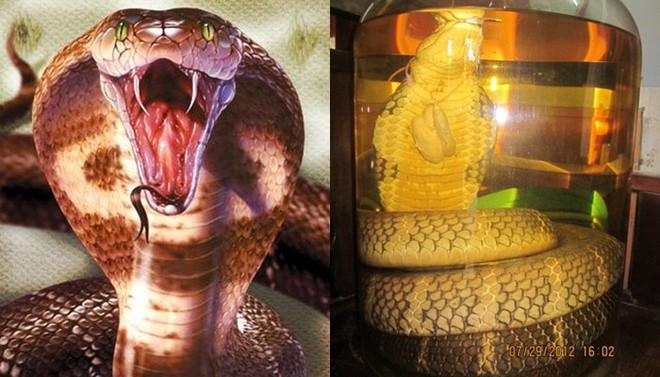 Ảo tưởng uống rượu rắn, tiết rắn giúp sung sức khi yêu, quý ông gặp họa sinh lý suốt đời - Ảnh 1.