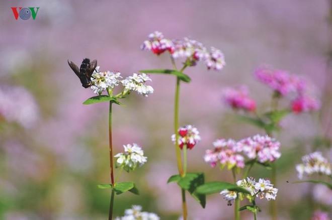 Tới Hà Giang ngắm hoa tam giác mạch đẹp ngất ngây - Ảnh 1.