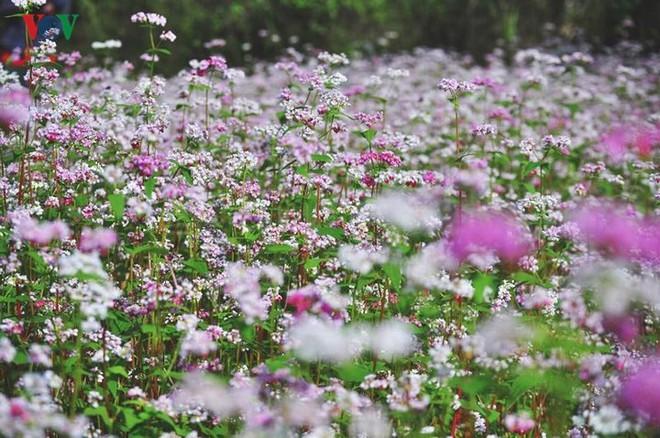 Tới Hà Giang ngắm hoa tam giác mạch đẹp ngất ngây - Ảnh 2.