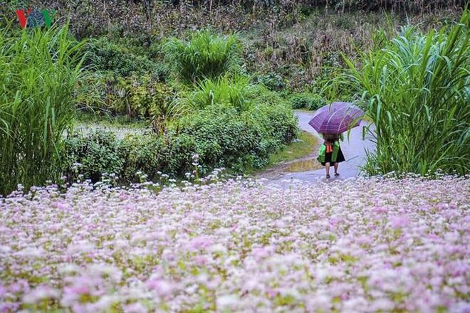 Tới Hà Giang ngắm hoa tam giác mạch đẹp ngất ngây - Ảnh 4.