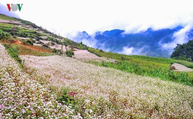Tới Hà Giang ngắm hoa tam giác mạch đẹp ngất ngây - Ảnh 8.