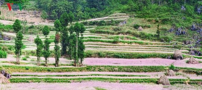 Tới Hà Giang ngắm hoa tam giác mạch đẹp ngất ngây - Ảnh 10.
