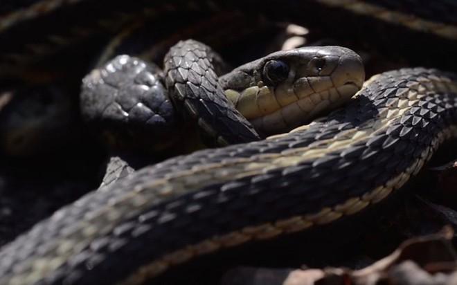 Chuyện kỳ lạ về loài rắn khiến bạn phát sốc - Ảnh 5.