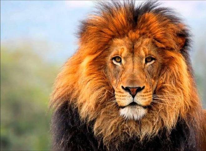 Trận chiến giữa sư tử và hổ dưới góc nhìn của chuyên gia - Ảnh 1.